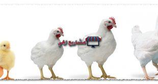 دراسة جدوى تربية الدجاج اللاحم