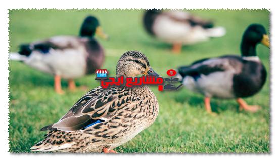 متطلبات مشروع تربية البط