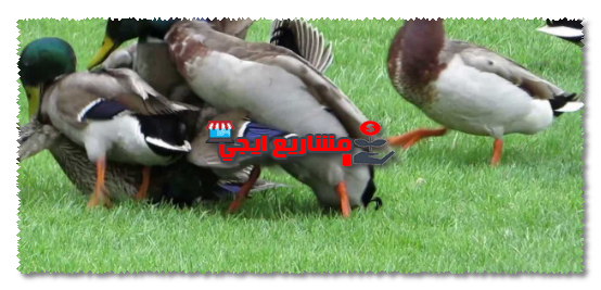 نصائح عند تربية البط