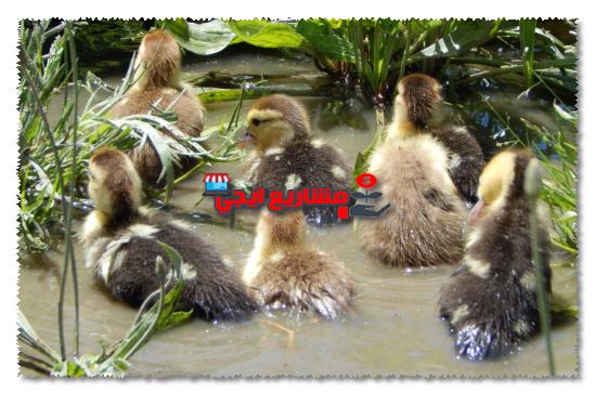مستلزمات مشروع تربية البط في المنزل