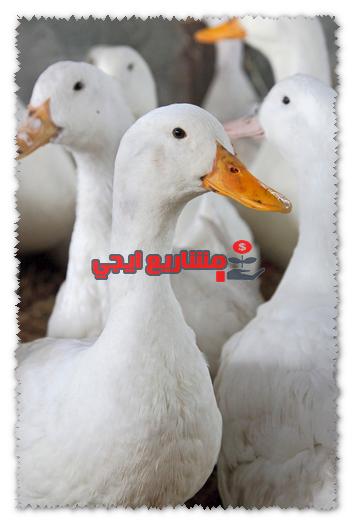 مشروع انتاج البط