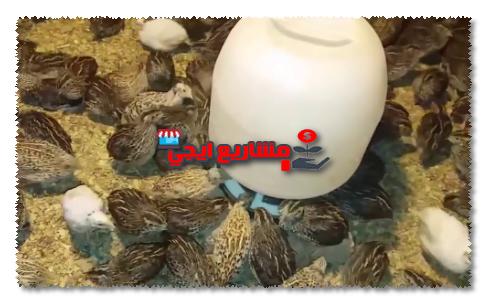 هل يمكن تربية السمان مع الدجاج ؟